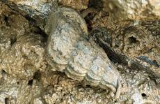 'Săn' đặc sản ốc len 'hơi ghê' nhưng ăn khỏi chê