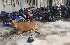 Công an huyện Phú Quốc 'tạm giam'... 2 con bò