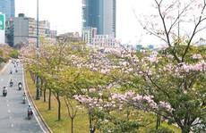Ngẩn ngơ với mùa hoa kèn hồng giữa lòng thành phố