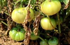 Nghề trồng cà chua 'cắm rễ' trên cát trắng