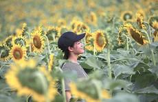 Hút hồn cánh đồng hoa hướng dương trái mùa ở miền Tây xứ Nghệ