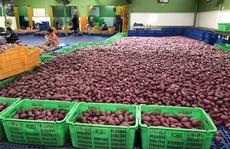 Khoai lang Việt Nam có cơ hội xuất khẩu số lượng lớn sang Thái