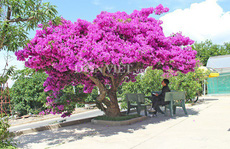 'Sốt rần rần' với cây hoa giấy khổng lồ siêu đẹp ở Đà Lạt