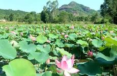 Ngắm cánh đồng sen tuyệt đẹp ở Quảng Nam