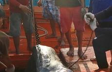 Rùng mình theo chân những cao thủ săn cá mập