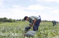 Quảng Nam kêu gọi công viên chức 'giải cứu' 1.300 tấn dưa hấu