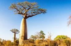 Bí ẩn ở châu Phi: Nhiều cây ngàn năm tuổi lặng lẽ chết