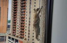 Dân Mỹ thót tim theo dõi gấu mèo leo tường như 'người nhện'