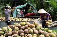 Giá dừa Bến Tre thấp kỷ lục 2.500 đồng/trái vì Trung Quốc ngưng mua