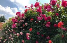 Khu vườn rộng 500m² với hàng trăm gốc hồng đẹp rực rỡ