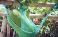 Khu vườn với những quả bí đao khổng lồ 'nằm võng'