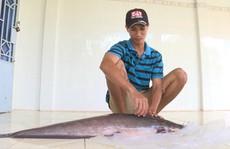 Bắt được cá trê nặng gần 12 kg trên sông Cổ Chiên