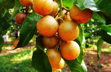 Quất hồng bì: 'Vua' trái cây mùa hè được săn lùng