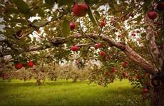 Vườn táo gần 300 tuổi đẹp như ở xứ sở thiên đường