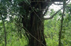 Có dấu hiệu giả hồ sơ cây 'quái thú' bắt ở Quảng Ngãi