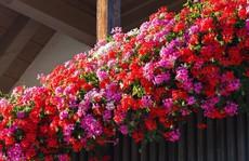 Những khung cửa sổ đẹp hút hồn nhờ sắc hoa rực rỡ