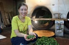 Trà đinh đắt như vàng ròng: Nữ nông dân Thái Nguyên thu bạc tỉ