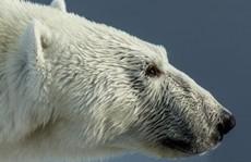 Bảo vệ con, cha bị gấu Bắc Cực giết chết