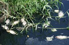 Đà Nẵng: Hàng tấn cá rô phi chết trắng tại mặt hồ điều tiết