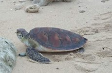 Lý Sơn: Rùa biển 'khủng' quý hiếm chết vì mắc lưới ngư dân