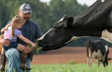 Sữa organic 'thực thụ' gặp khó ở Mỹ