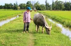 Oái oăm việc trâu, bò ra đồng gặm cỏ phải đóng phí 100.000 đồng!