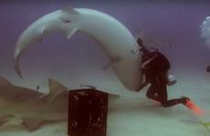 Thôi miên... cá mập
