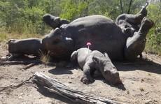 Xót xa cảnh tê giác con bị thương vẫn cố bảo vệ mẹ khỏi săn trộm