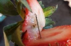 Kim khâu trong dâu tây lan đến New Zealand
