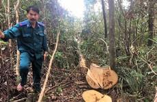 Làm rõ việc khu rừng phòng hộ bị 'lâm tặc' đốn hạ