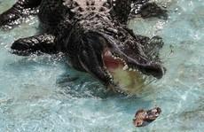 Cá sấu 'huyền thoại'