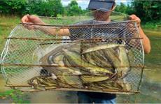 Mê mắt với những chiếc lọp đầy cá mùa nước nổi