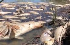 """Úc: """"1 triệu con cá"""" chết trắng trên sông"""