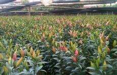 Nông dân Tây Tựu hốt bạc nhờ trồng hoa ly
