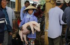 Nghề 'độc' ở chợ heo lớn nhất Quảng Nam