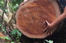Để 'lâm tặc' phá rừng lim, nguyên Trạm trưởng Trạm bảo vệ rừng Khe Đen bị khởi tố