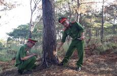 Tạm giữ 5 đối tượng đầu độc hơn 1.000 cây thông ven đường Hồ Chí Minh
