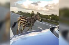 Ngựa vằn đại náo đường cao tốc, xe hơi đâm nhau hư hỏng