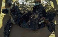 Rùa biển 'khủng' có trong sách đỏ dính lưới ngư dân