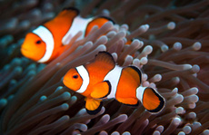 Quan hệ tình dục kén chọn khiến cá 'Nemo' cạn đường sống