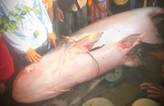 Bắt cá tra dầu quý hiếm nặng hơn 230kg, xử lý hình sự được không?
