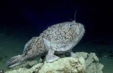 Cá 'có chân' ở vịnh Mexico