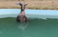 Bị 'bà hoả' truy đuổi, kangaroo nhảy xuống hồ bơi ngâm mình