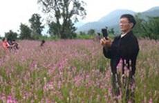 Cánh đồng hoa dền cát đẹp ngỡ ngàng ở Phú Yên