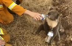Gấu koala tuyệt vọng chặn người đi xe đạp xin nước uống