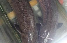 """Bắt được 2 con cá lệch """"khủng"""" dài 1,6 m, nặng 16 kg mỗi con, bán gần 30 triệu đồng"""