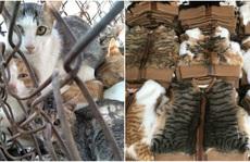 Số phận bi thảm của những con mèo bị 'luộc sống' ở Trung Quốc