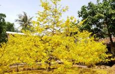 Dạy trẻ tạ mộ, tuốt lá mai để giữ hồn Tết Việt