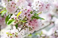 'Thủ đô hoa anh đào của thế giới' rực rỡ khi vào mùa