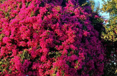 Phát sốt với cây hoa giấy 'khổng lồ' hút khách du lịch ở Lý Sơn